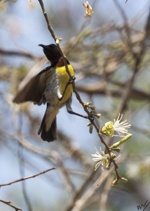 sunbird7