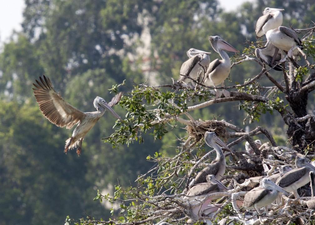 pelican7