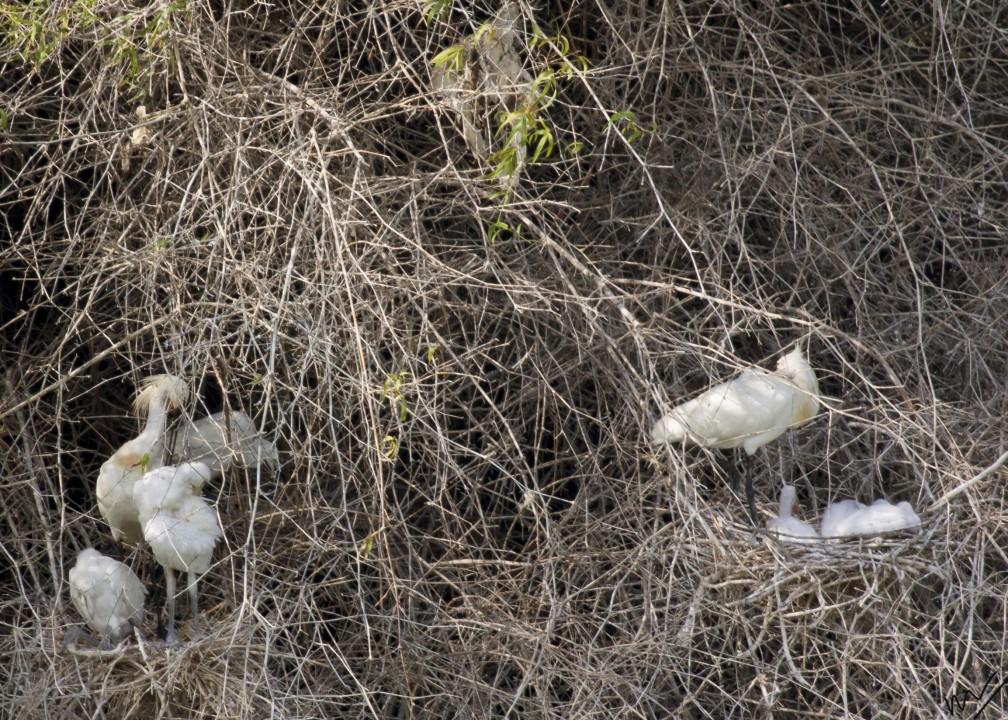 Eurasian Spoonbill