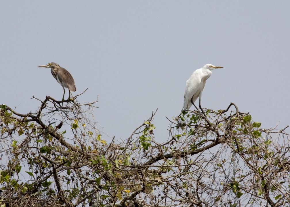 Pond heron and heron3