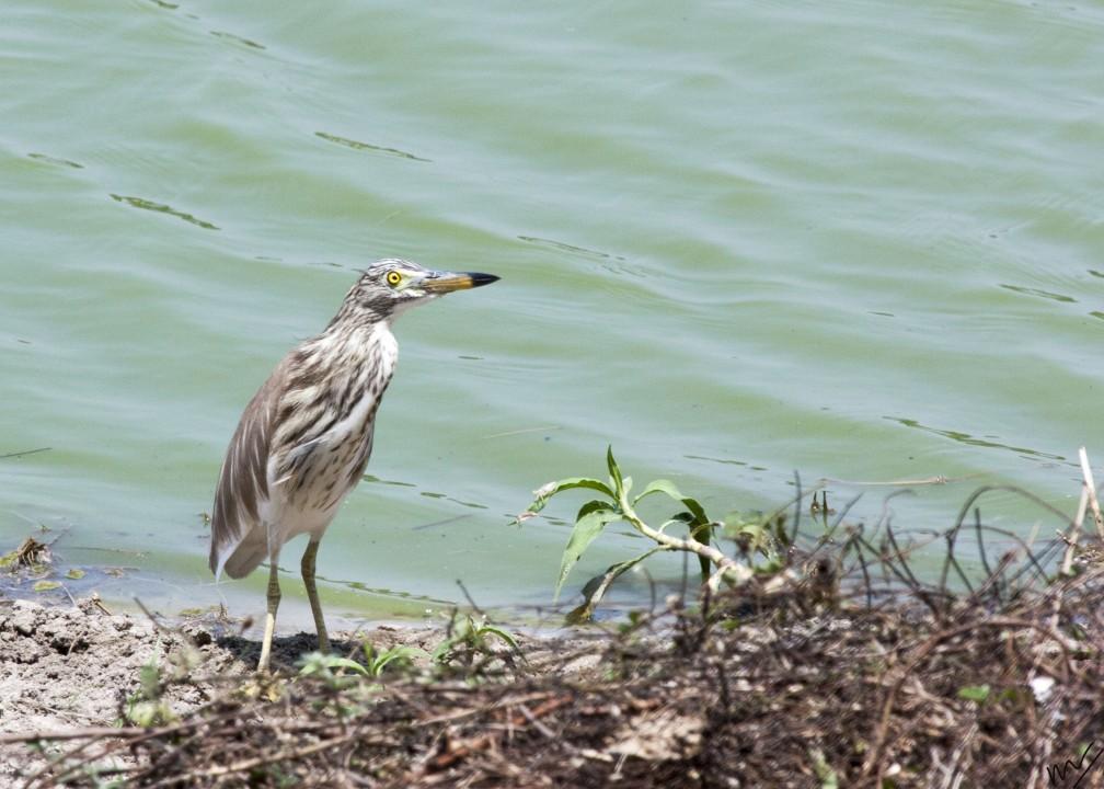 pond heron1