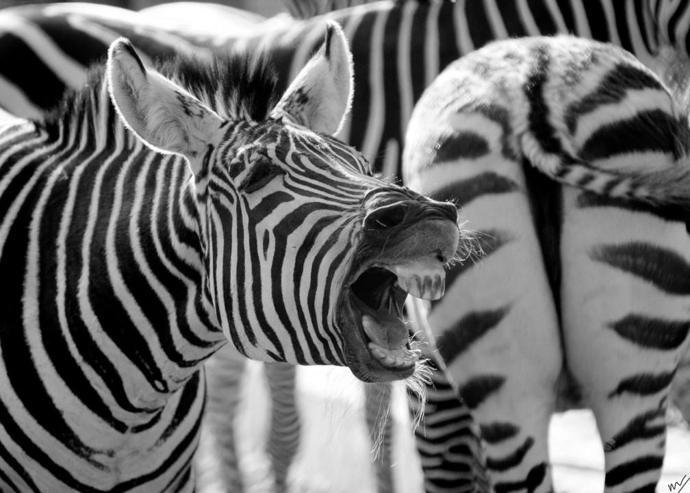 zebra laugh