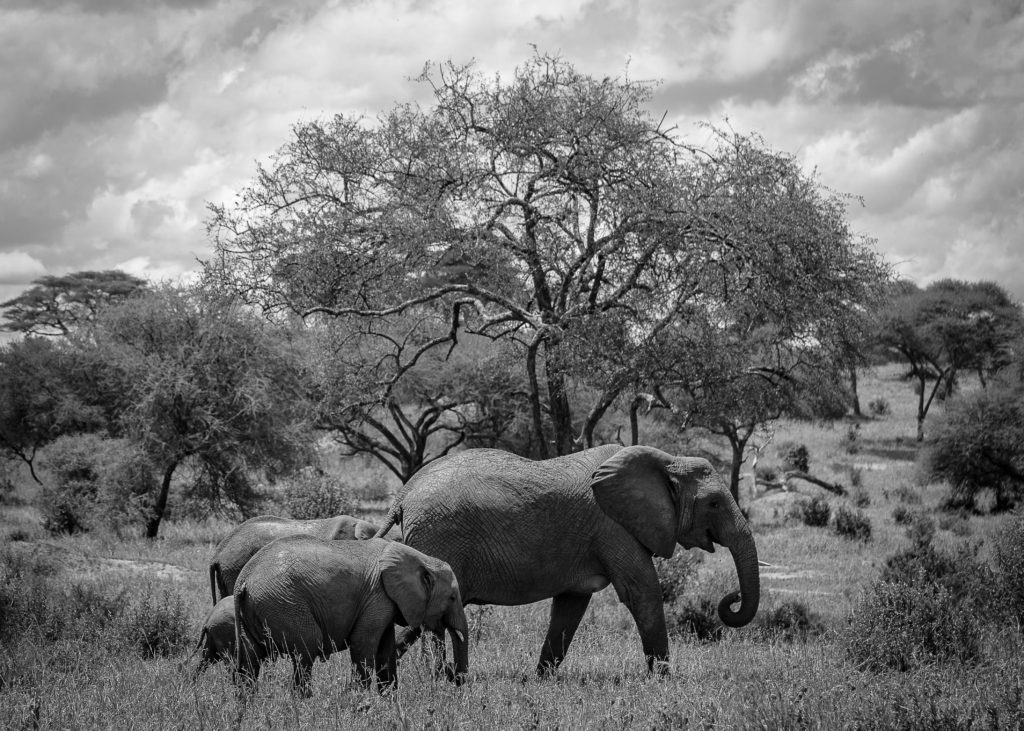 Beautiful african elephant family