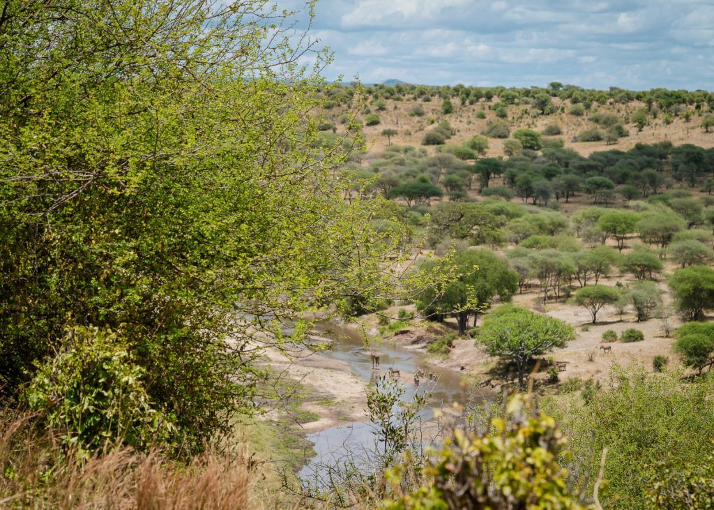 Zebras and Giraffes drinking water in the Tarangire river