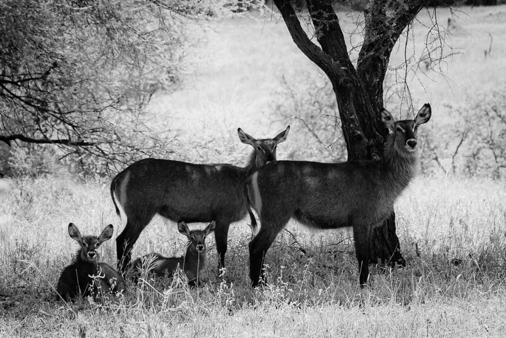 Waterbuck resting in the tree shade