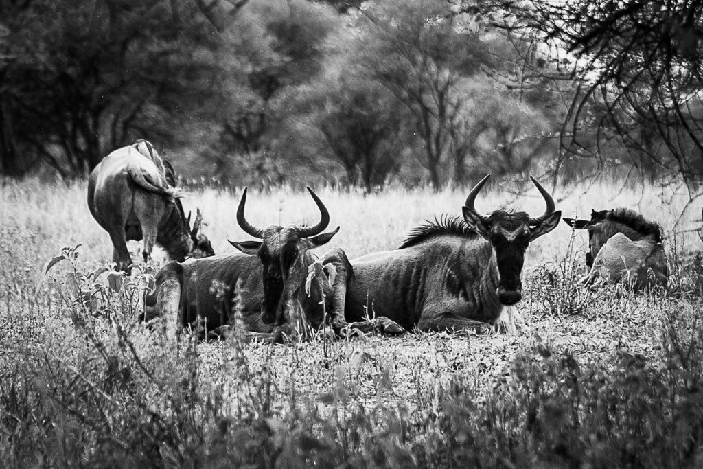 Wildebeests resting in rain