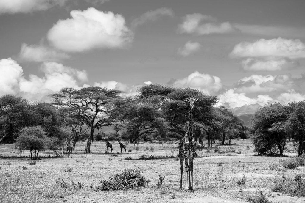 Giraffe family at Tarangire national park