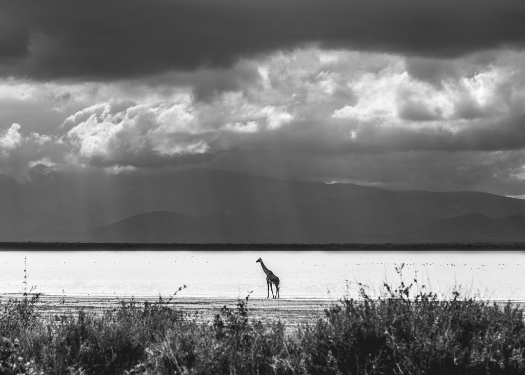 Giraffe standing in front of Lake Manyara