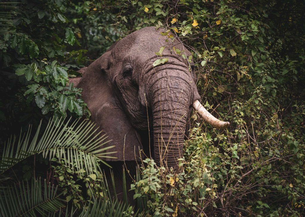 african elephant in a jungle