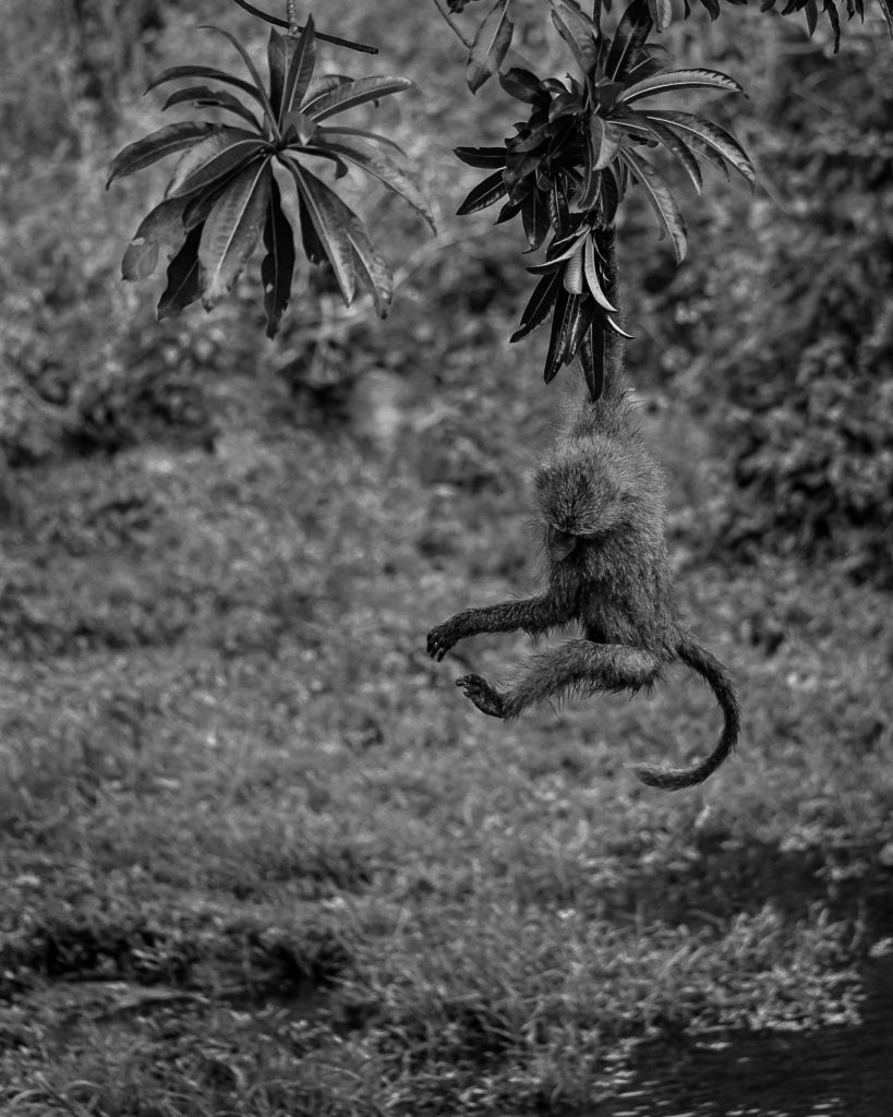 Monkey hanging from a tree
