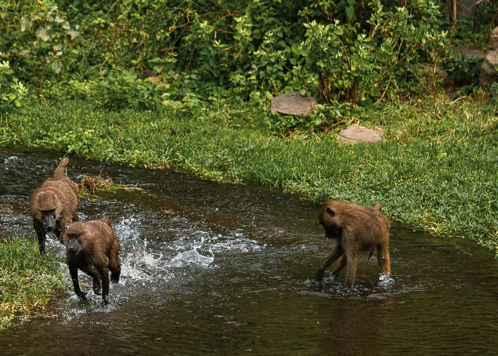 Baboons chasing each other in a river