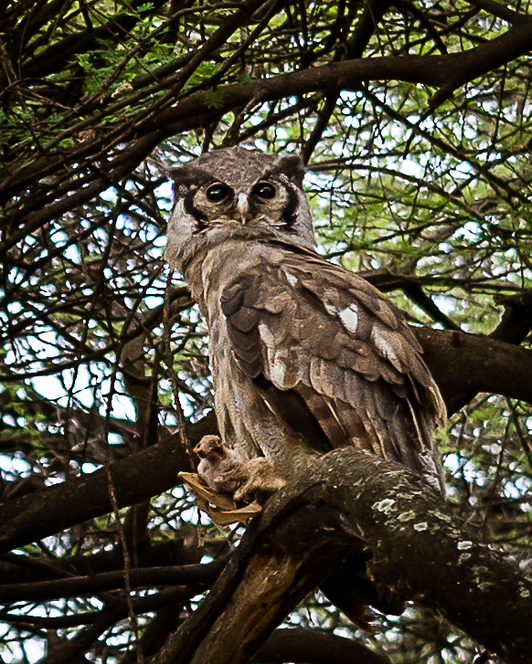 Owl holding its prey on a tree branch