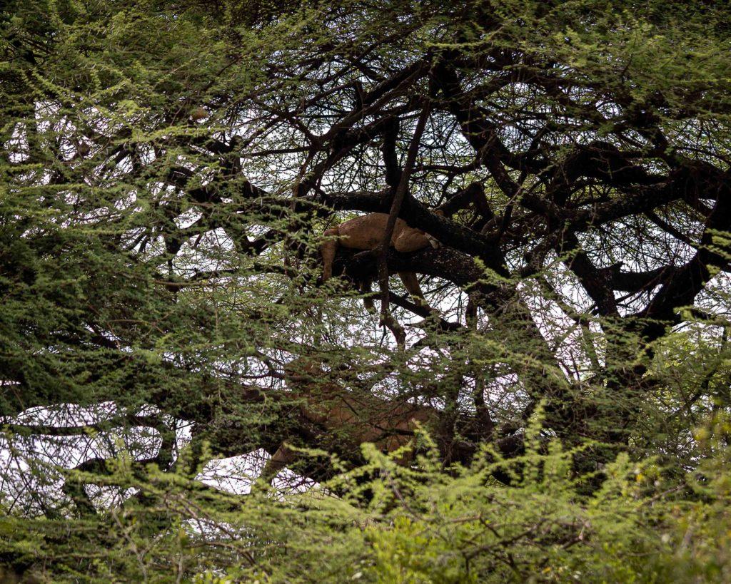 tree climbing lions